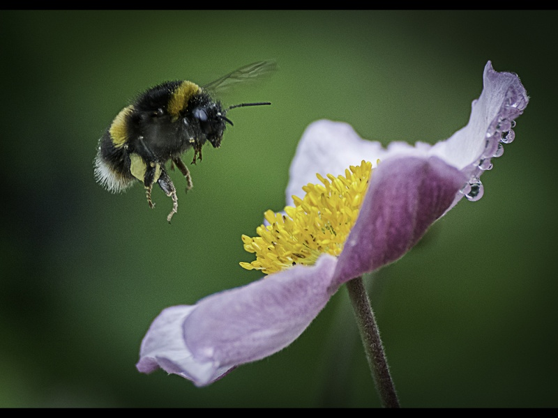 BUMBLEBEE APPROACHING ANEMONE by Dick Bateman