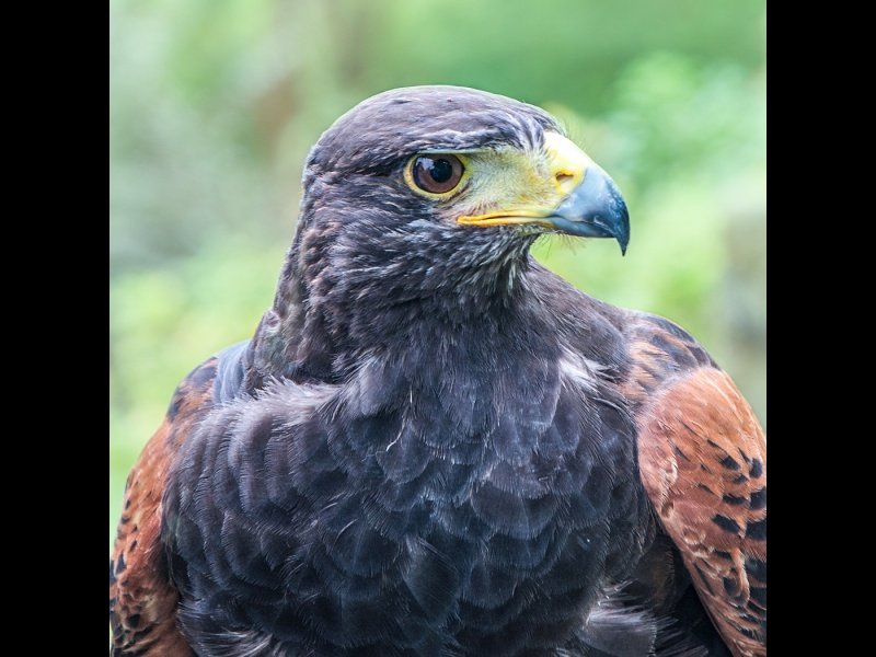 HARRIS HAWK by Rosy Bateman