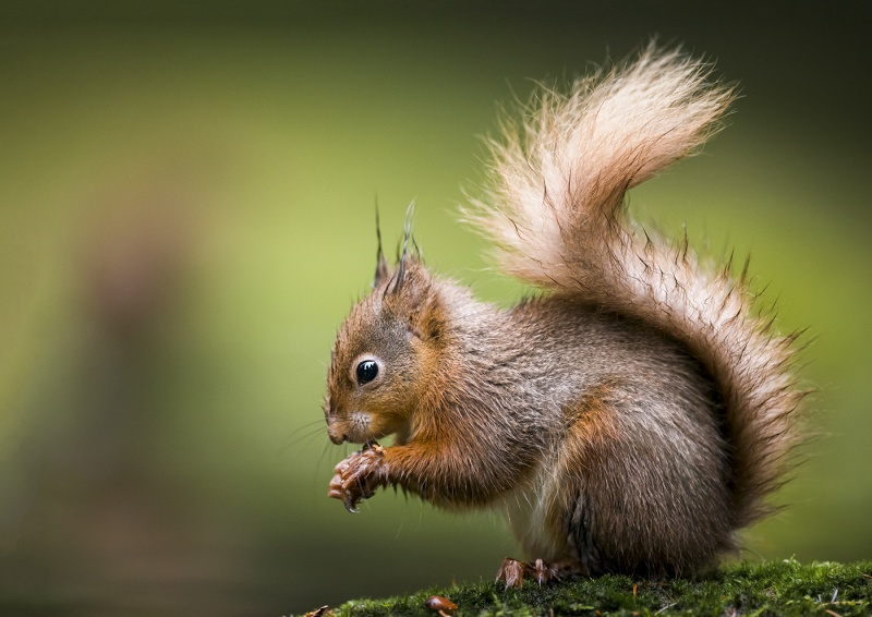 RED SQUIRREL WITH NUT By James Street