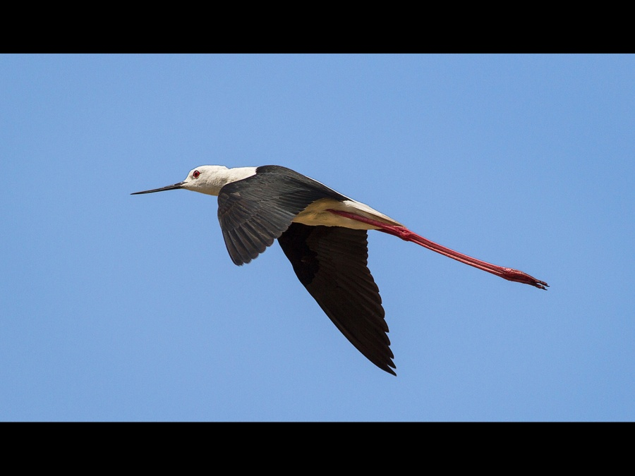 Blackwinged Stilt in flight