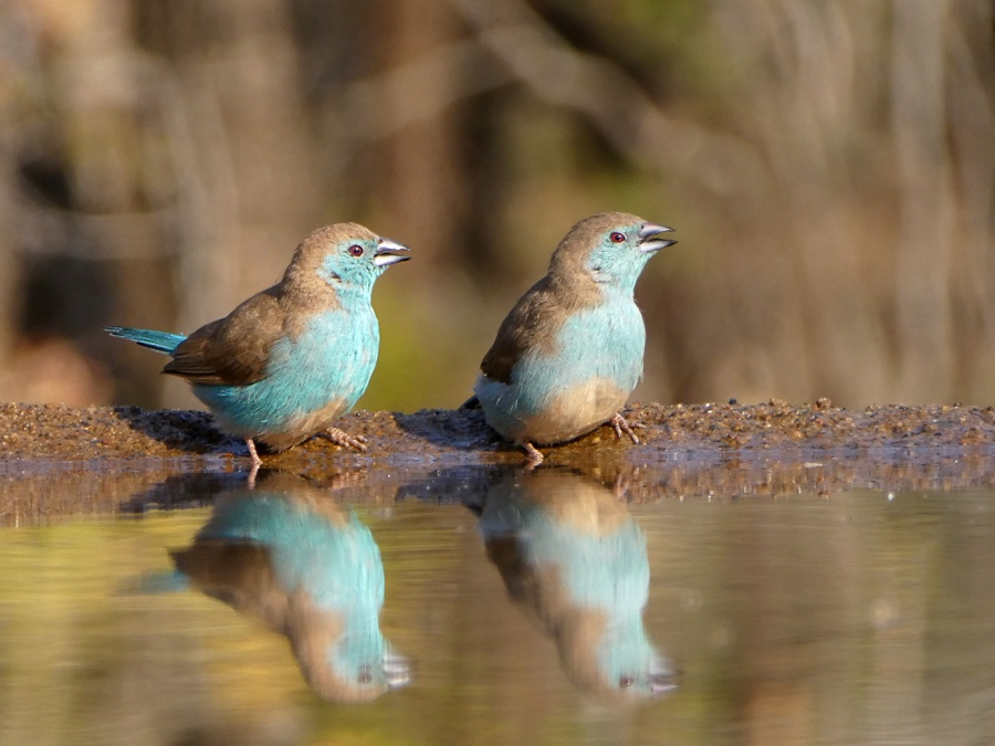 BLUE WAXBILL by Jennifer Blackburn