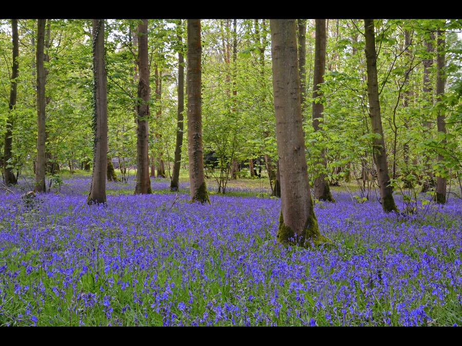 BLUEBELL WOOD BLICKLING ESTATE by Desi Lander