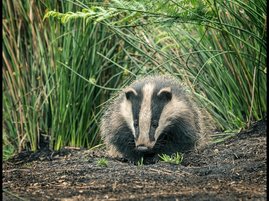 BADGER CUB by Cheryl Greenwood