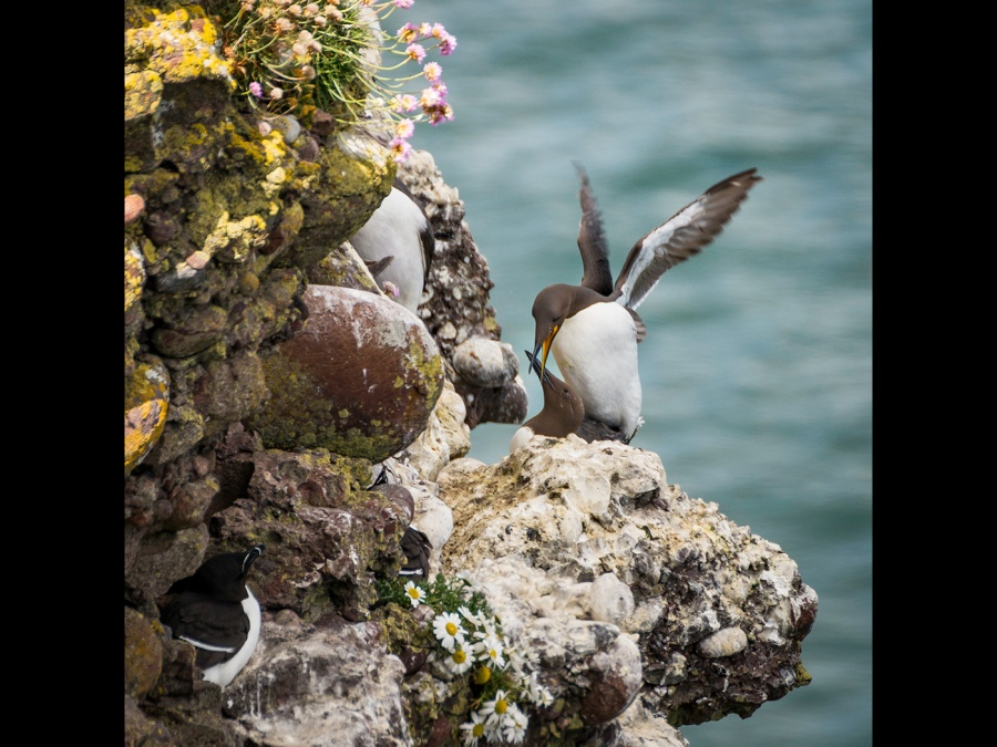 GIDDY GUILLEMOTS by Dick Bateman