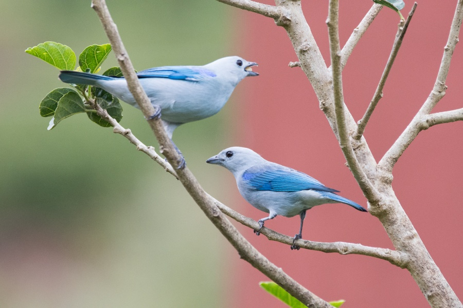BLUE-GREY TANAGERS 2  by Dorothy Challand