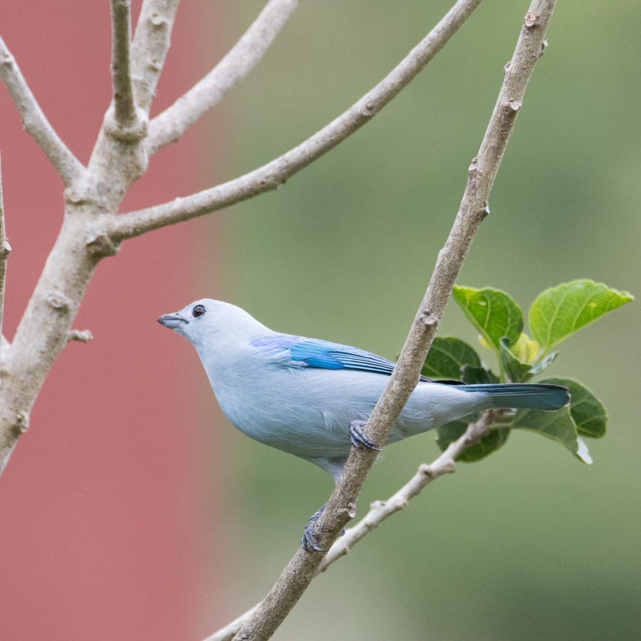 BLUE-GREY TANAGERS 3  by Dorothy Challand