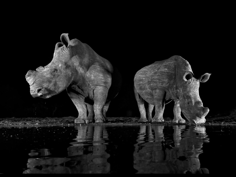 WHITE RHINOS 2 by Malcolm Blackburn