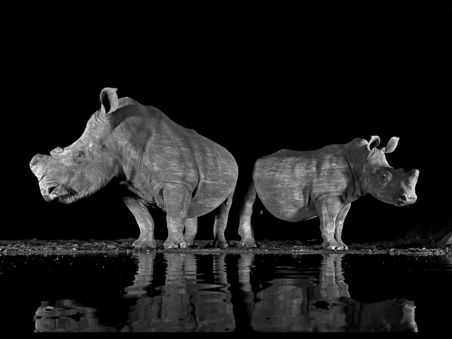 WHITE RHINOS 3 by Malcolm Blackburn