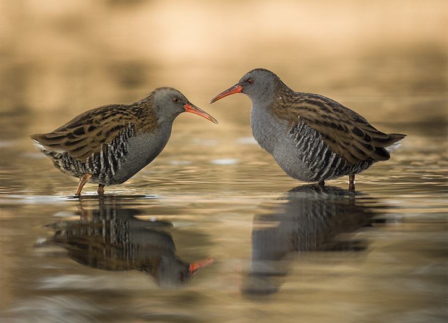 WATER RAILS AT SUN RISE (2) by Charlotte Nuttall