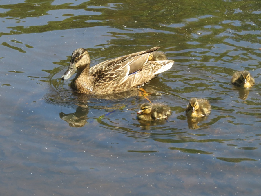 MOTHER AND DUCKLINGS by Kath Bancroft