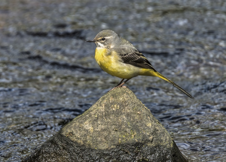 GREY WAGTAIL by Terry Walker