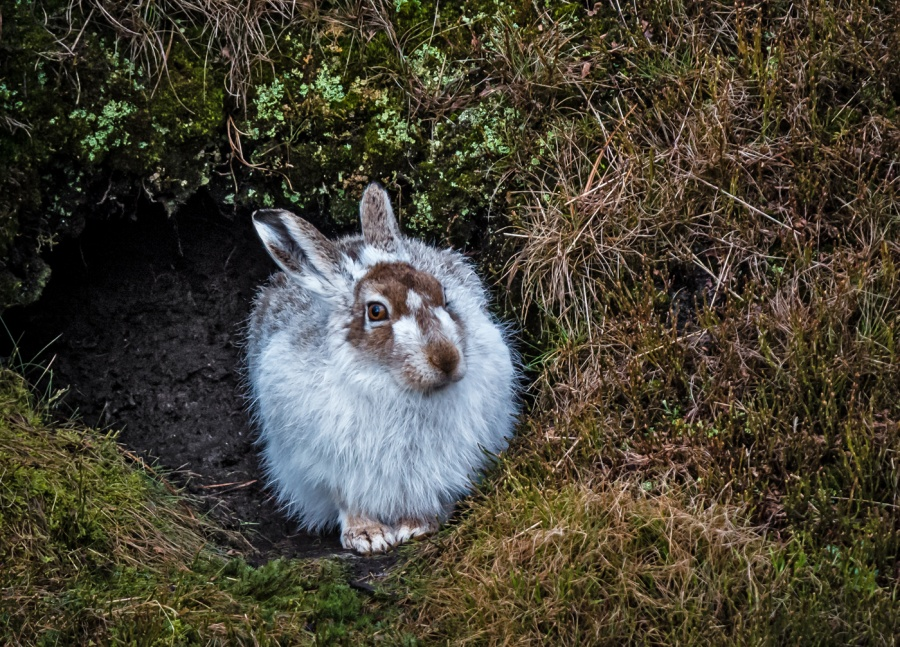 MOUNTAIN HARE  IN MOORLAND SCRAPE by Terry Walker