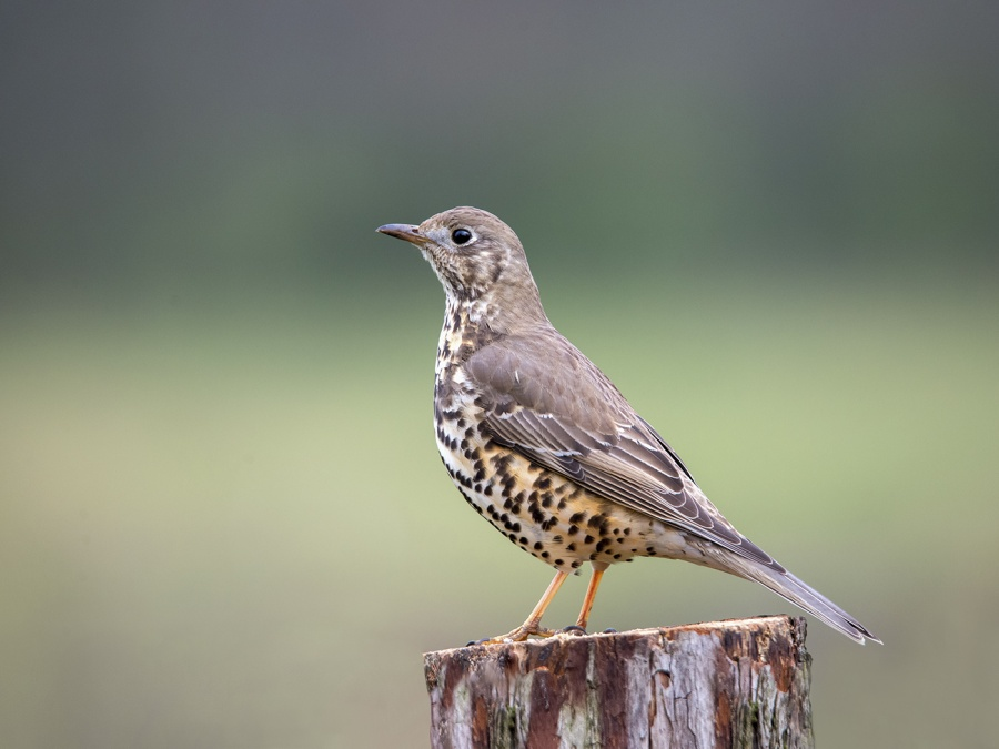 MISTLE THRUSH by Terry Walker