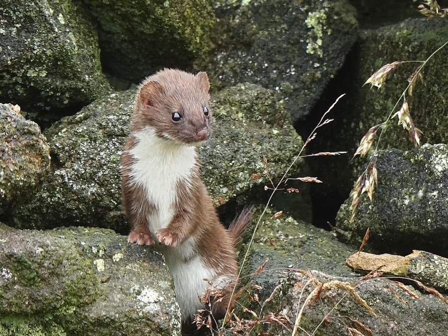 STOAT ON DRY STONE WALL by Tony Pioli.jpg