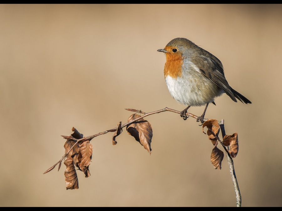 AUTUMNAL ROBIN by Charlotte Nuttall