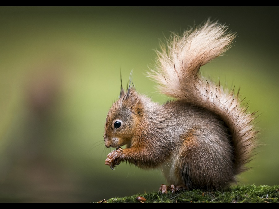 RED SQUIRREL by James Street