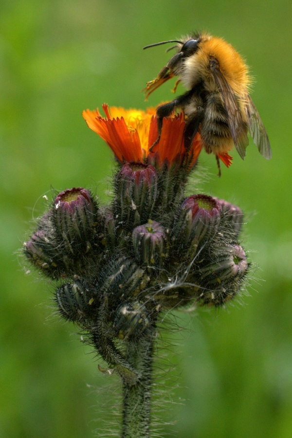 POLLEN FROM ORANGE HAWKWEED by John Jackson