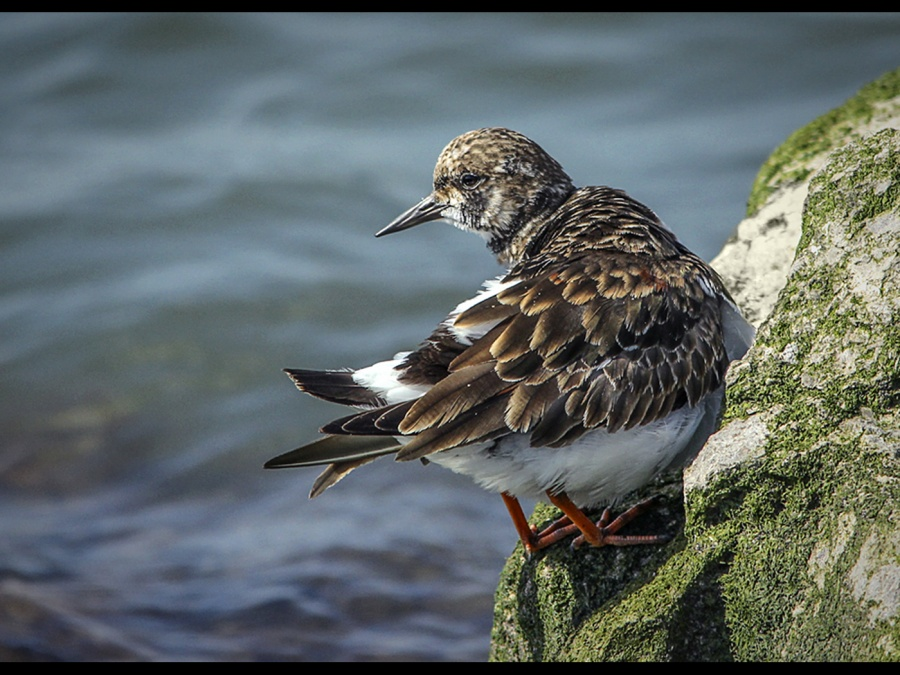 TURNSTONE  WEST KIRBY MARINE LAKE by andrew chapman