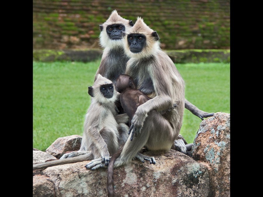 URBAN LANGUR MONKEY FAMILY by Helena Jones jpg