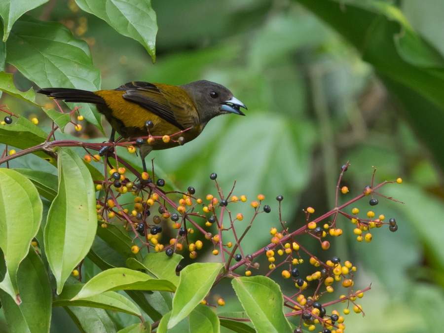 DUSKY-FACED TANAGER FEASTING ON BERRIES  by Dorothy Challand