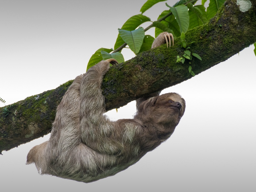 THREE-TOED SLOTH  by Dorothy Challand