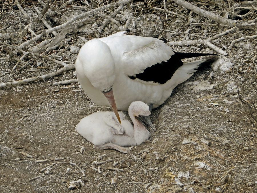 MASKED BOOBY AND NEWBORN CHICK by Jennifer Blackburn