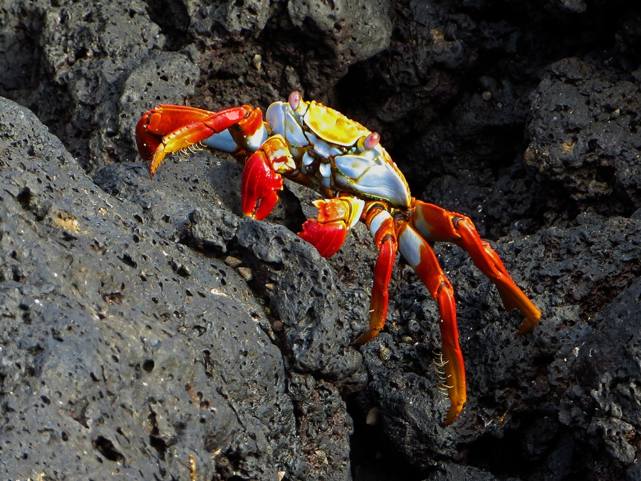 SALLY LIGHTFOOT CRAB by Jennifer Blackburn