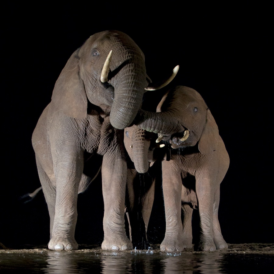 ELEPHANT AND CALVES by Malcolm Blackburn