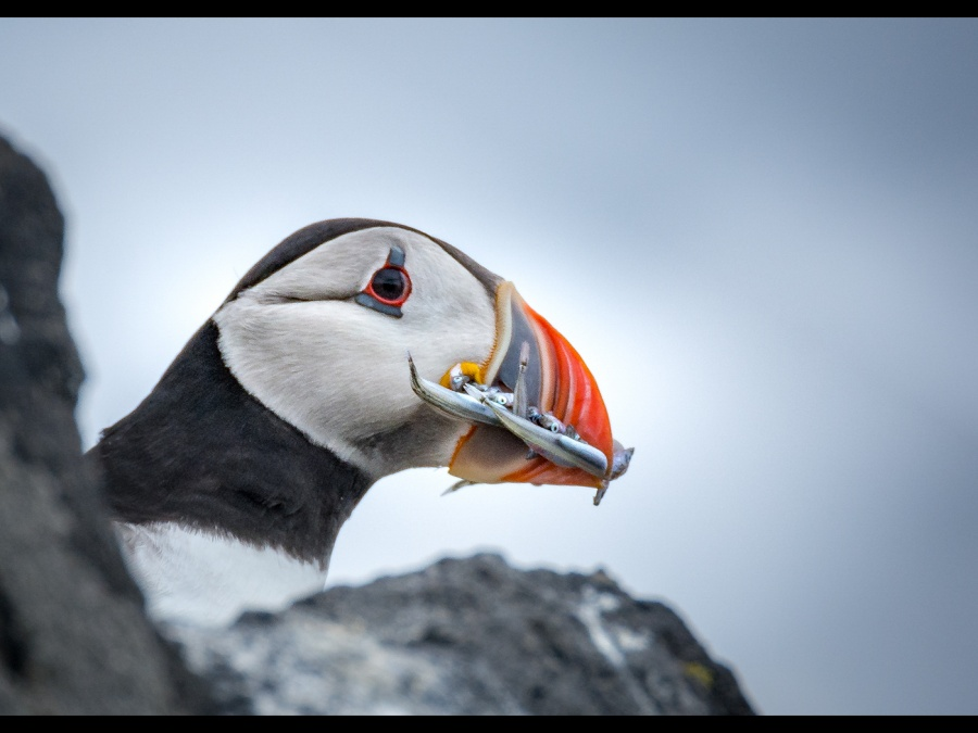 PUFFIN by DICK BATEMAN