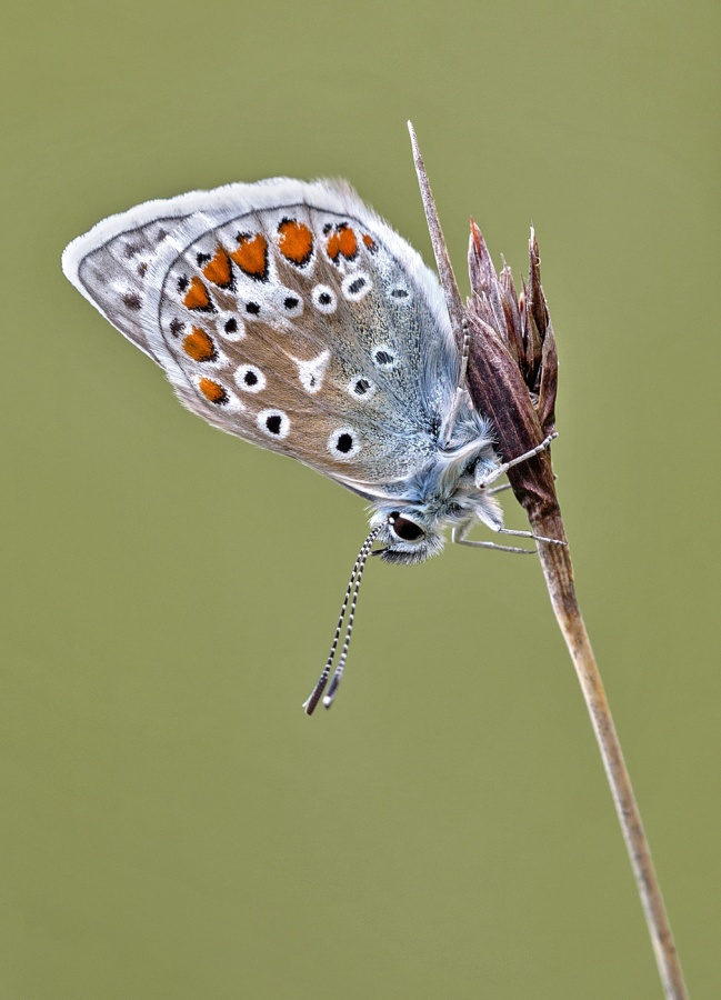 COMMON BLUE by Keith Gordon