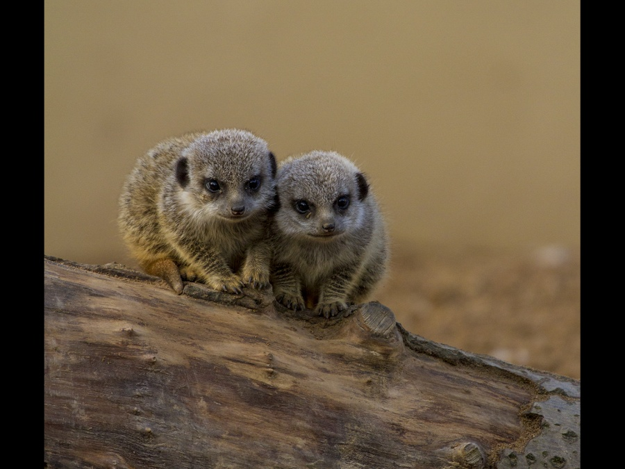 MEERKAT KITTENS by james chapman