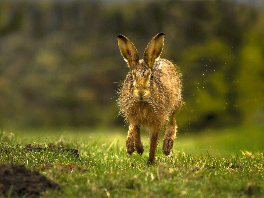 HARE RUNNING by Ken Lomas