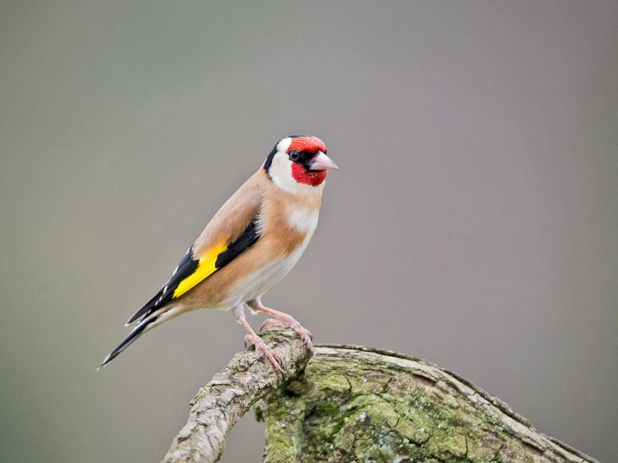 GOLDFINCH by Terry Walker