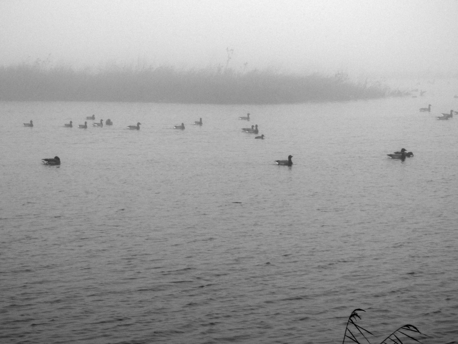 DUCKS IN THE MIST by Hilary Harmer