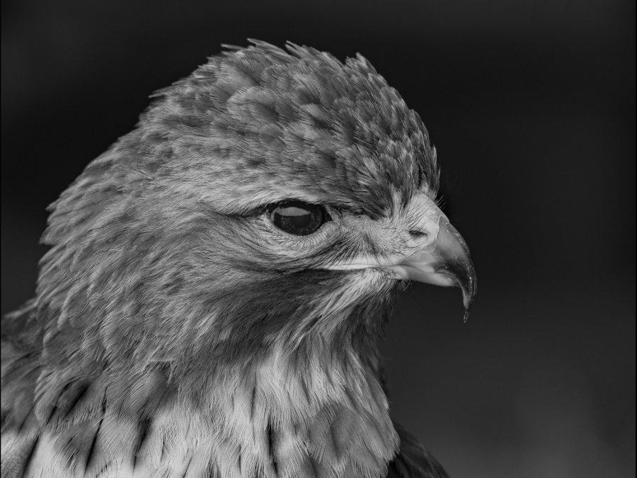 RED-TAILED HAWK by Chris Evans