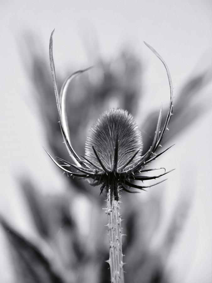TEASEL SHADOW by Desi Lander