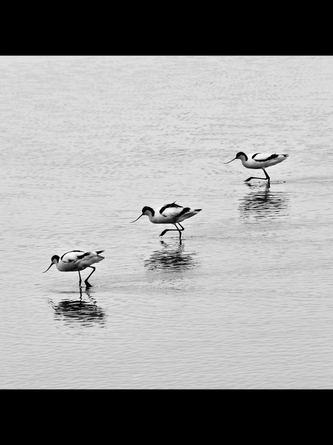 DANCING AVOCETS by Desi Lander