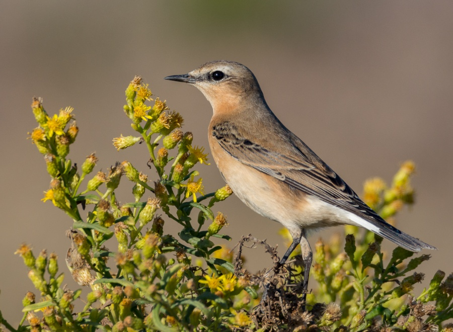 NORTHERN WHEATEAR by Chris Evans
