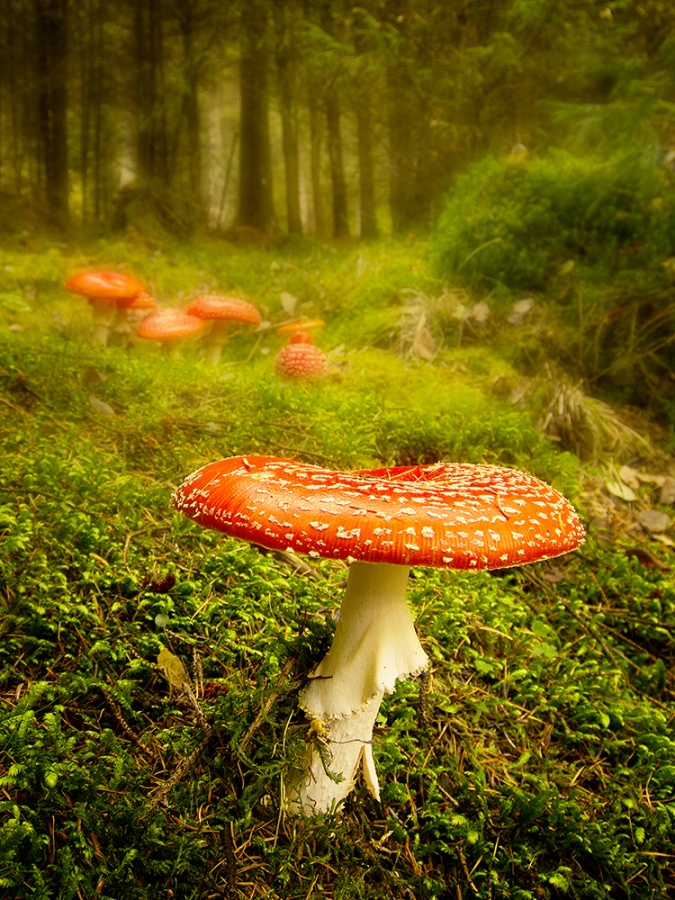 FLY AGARICS AT THE WOODLAND EDGE by Ken Lomas