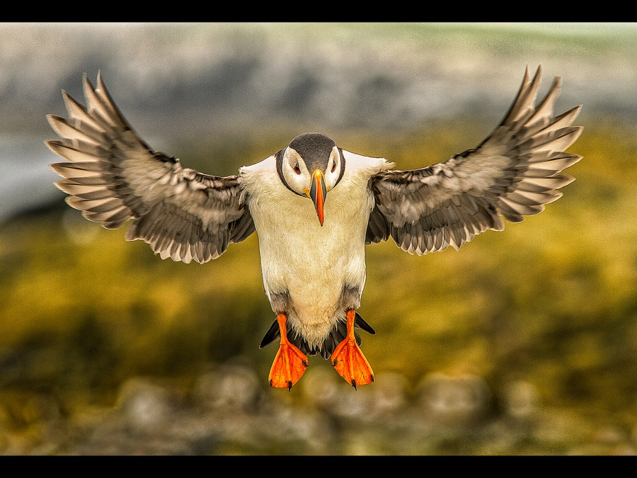 PUFFIN DROPPING IN by Ken Lomas