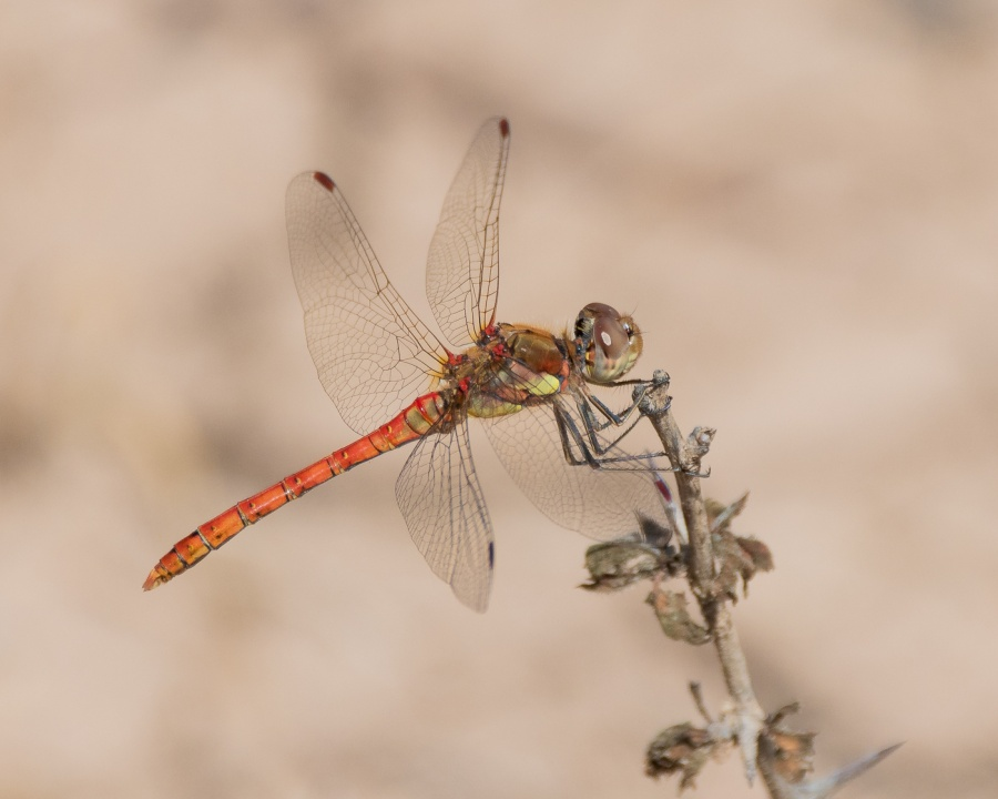 COMMON DARTER MALE ON WATCH by Dorothy Challand