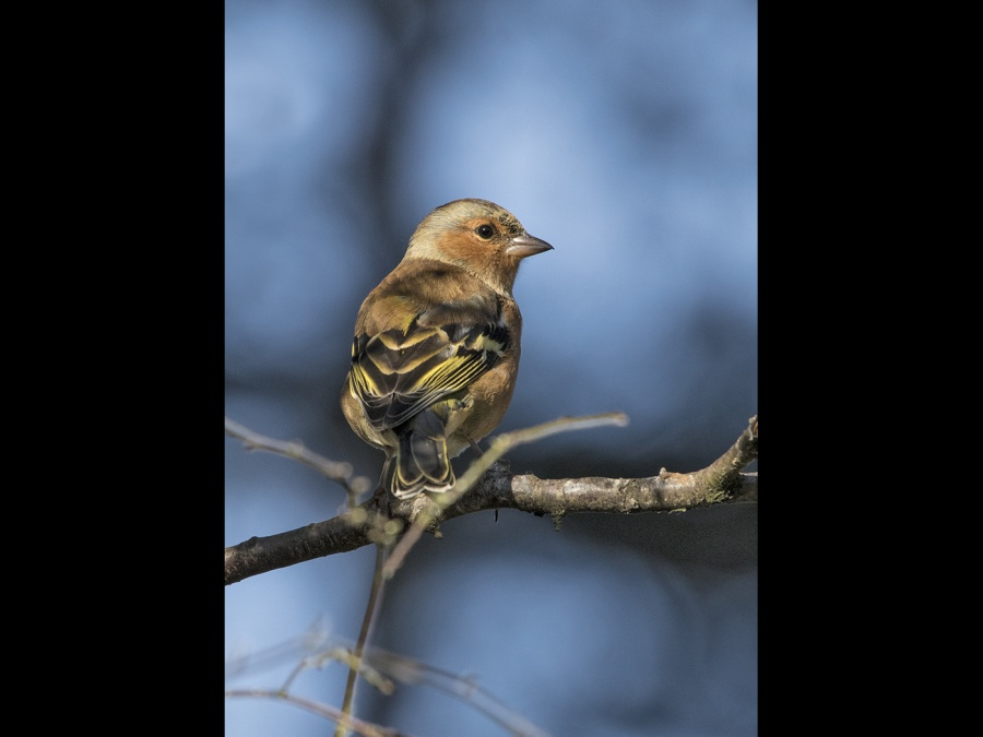 MALE CHAFFINCH by james chapman