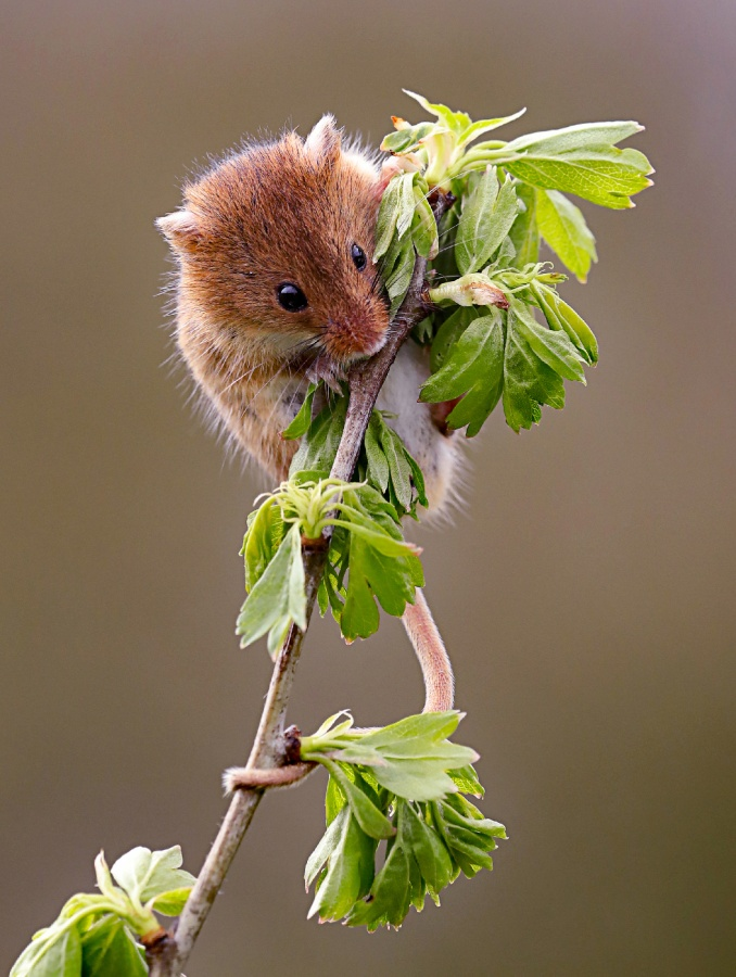 HARVEST MOUSE by Ian Atkin