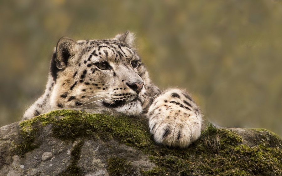 SNOW LEOPARD by Rodger Holden