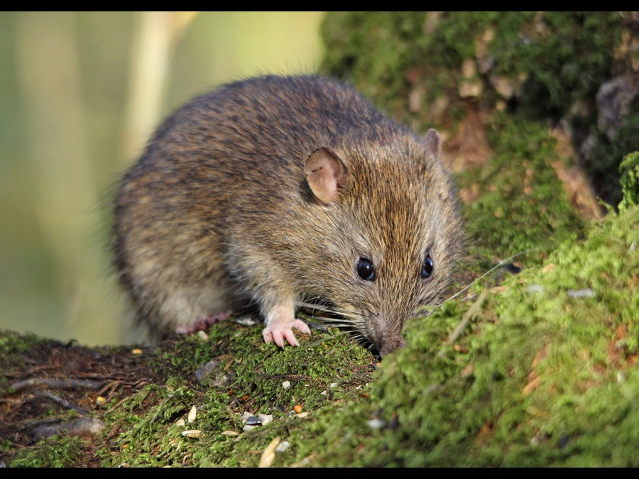BROWN RAT LEIGHTON MOSS by andrew chapman