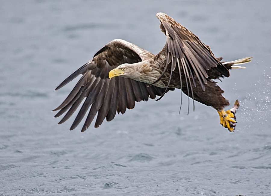White Tailed Sea Eagle by Ismail El-Haddad