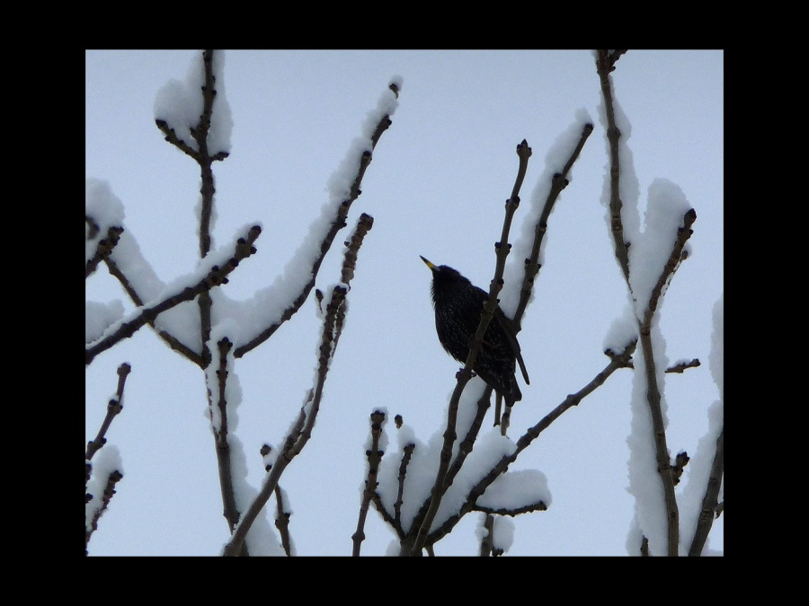 WINTER STARLING by Hilary Harmer