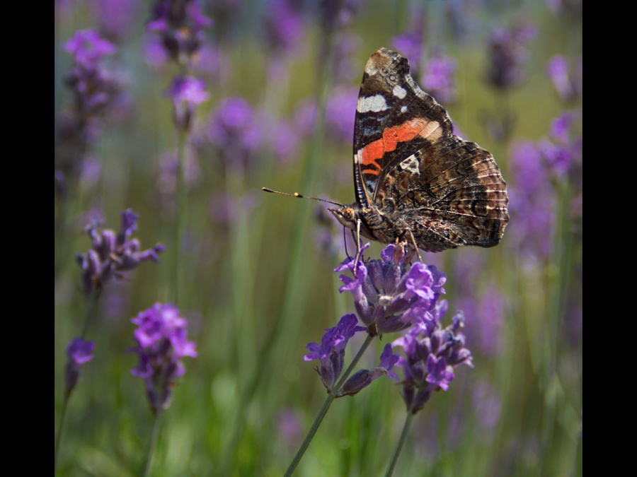 RED ADMIRAL ON LAVENDER BY Helena Jones