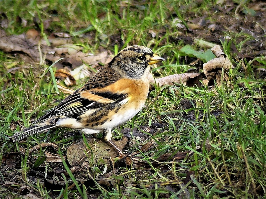 BRAMBLING SEARCHING FOR FOOD