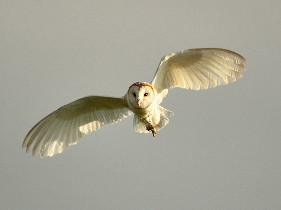 BARN OWL RETURNING TO BARN by andy chapman